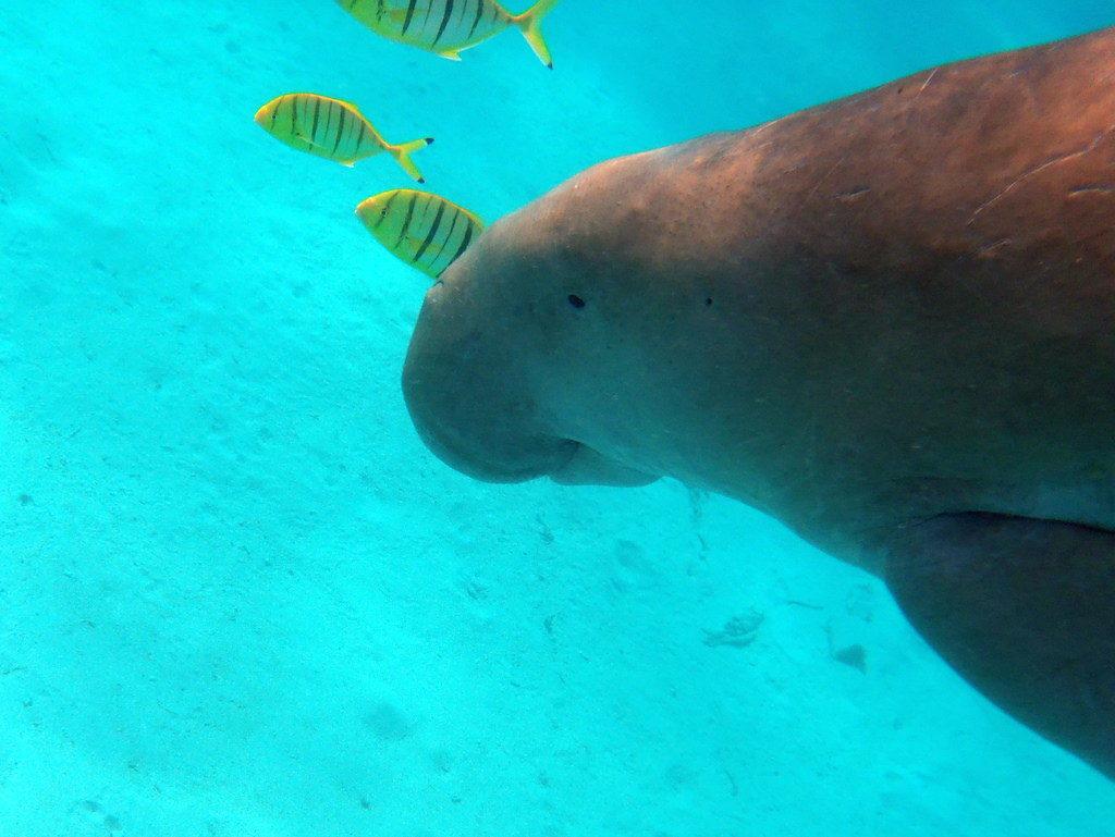 Ya no se puede ser más cruel: dugones encerrados y atados bajo el mar 1