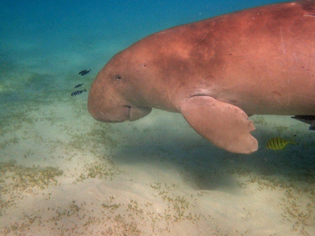 Ya no se puede ser más cruel: dugones encerrados y atados bajo el mar 2
