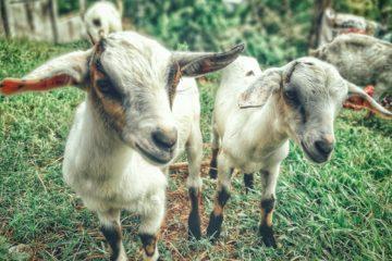 Portugal usará cabras para sanear los montes y prevenir la propagación de incendios 7