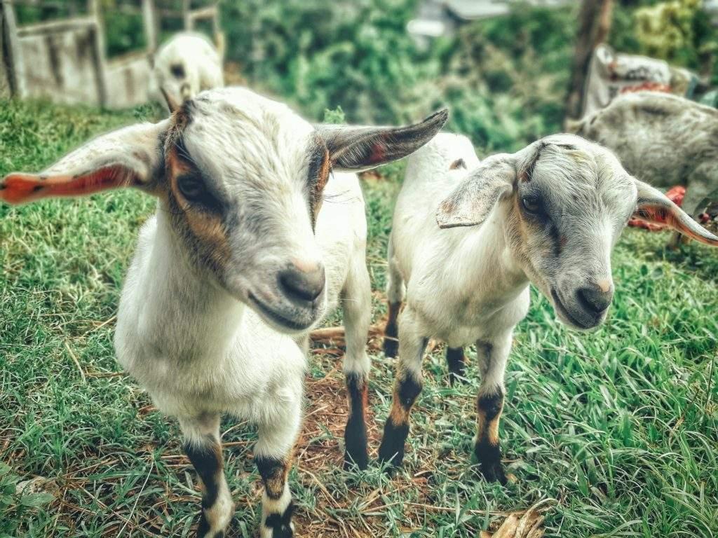 Portugal usará cabras para sanear los montes y prevenir la propagación de incendios 2