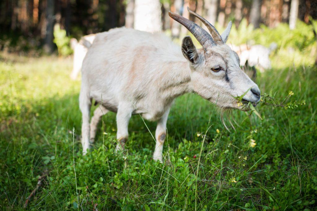 Portugal usará cabras para sanear los montes y prevenir la propagación de incendios 3