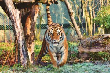 Tigres y leones de un zoo del Bronx dan positivo en Covid-19 ¿Están a salvo los animales? 40