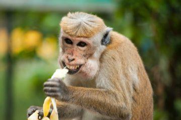 ¡De locos! Unos monos atacan a un técnico de laboratorio y roban unas muestras de COVID-19 16